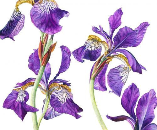 Rosie Sanders Iris sibirica 2011 Watercolour on Arches 640gsm paper