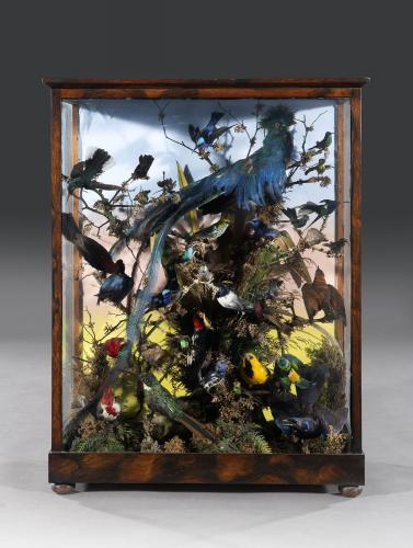 Taxidermy: Mid 19th Century Victorian Rosewood Cabinet of 32 Exotic Birds in the manner of Henry Ward English Circa 1860