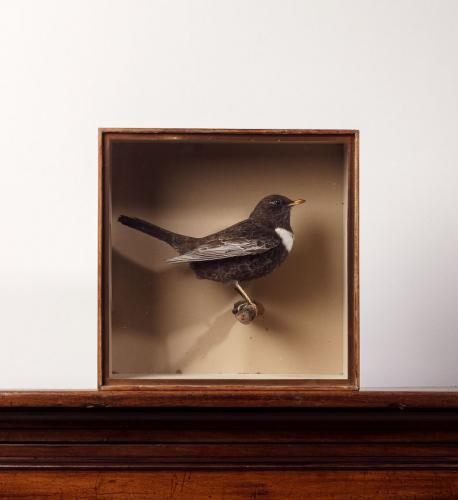 A Taxidermy Case of a Ring Ouzel by J. Cullingford