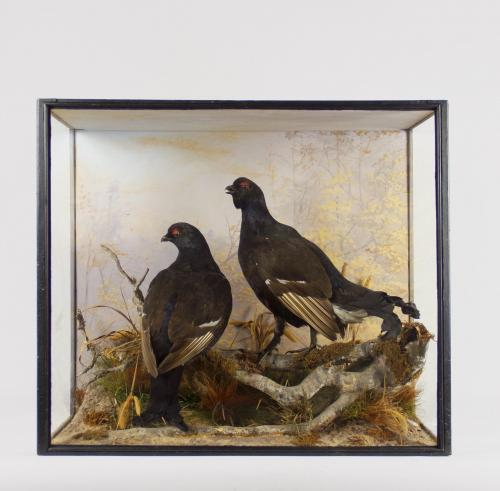 A Taxidermy Case of a Black Grouse by Peter Spicer