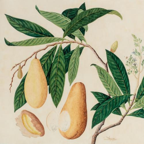 A Study of a Binjai (mangifera caesia), 19th century, probably Penang